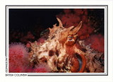 234   Giant Pacific octopus (Enteroctopus dofleini), Browning Passage, Queen Charlotte Strait