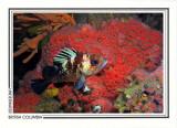 237   Quillback rockfish (Sebastes maliger), Quadra Island area, Discovery Passage