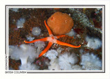 246   Blood star (Henricia leviuscula) and peach ball sponge (Suberites montiniger), Browning Wall, Queen Charlotte Strait