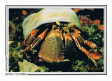 152   Widehand hermit crab (Elassochirus tenuimanus), Gabriola Island area