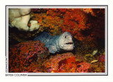 075   Wolf-eel (Anarrhichthys ocellatus), Grouse Island, Campbell River area