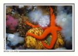 041   Blood star on sponge (Henricia leviuscula), Browning Wall, Queen Charlotte Strait