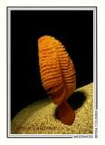 021   Sea pen (Ptilosarcus gurneyi), Seven-Tree Island, Browning Islet, Queen Charlotte Strait