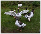 A pleasant day with three ducks, four geese and a few rabbits.
