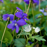 Purple Violets with Fringed Phacelia
