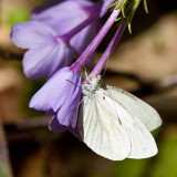 White Butterfly on Phlox