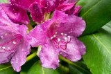 Catawba Rhododendron 3