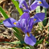 Dwarf Iris 1