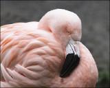 FlamingoPortrait_8475pb.jpg