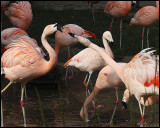 Flamingos05_8992pb.jpg