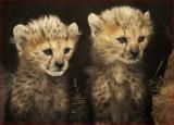 Cheetah cubs, Whipsnade 2012