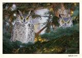 Great Horned Owls (_P9E6431 copy.jpg)