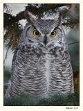 Great Horned Owl (_P9E6479 copy.jpg)