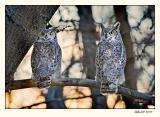 Great Horned Owls (_P9E6488 copy.jpg)