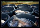 Karpfen abfischen