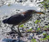Green Heron, Huntley Meadows Park, VA