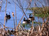 Canada Geese, Huntley Meadows, Alexandria, VA
