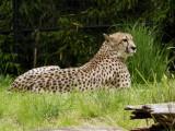Cheetah, National Zoo, Washington, DC