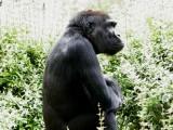Gorilla, National Zoo, Washington, DC