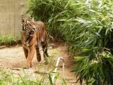 Tiger, National Zoo, Washington, DC