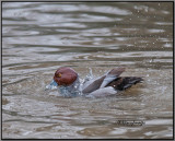 Red Headed Duck Bathing