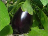 Eggplant '11