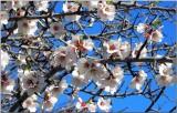 Plum Blossom '11