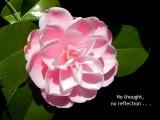 Tilopa Camellia