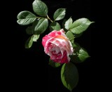 Rose '11