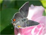 Angel Face w/Moth