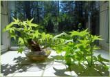 Sweet Potato Flowering