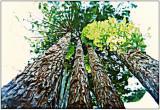 Backyard Redwoods