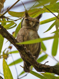 Northern White-faced Scops Owl, Otus leucotis