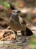Brown Babbler, Turdoides plebejus