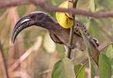 African Grey Hornbill, Tockus nasutus