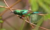 Beautiful Sunbird, Cinnyris pulchellus