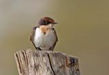 Wire-tailed Swallow, Hirundo smithii