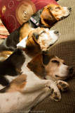 Beagles (Updated 3/4/2012)