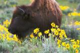 Buffalo and wildflowers
