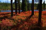 Intense color below the pines
