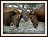 Fighting elk in the forest.jpg