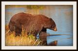 Bear into the stream.jpg
