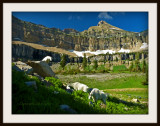 Mountain goats in Timp Meadow
