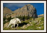 Timp Mountain goat.jpg