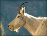 Mountain Goat   Up Close