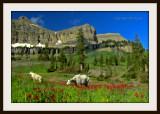 Mountain goats in wildflowers.jpg