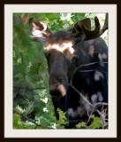 Spooky Moose