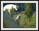 Baby Mountain Goats.