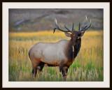 Bugling Bull from fall meadow.