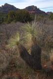 Yucca - Sedona, Arizona